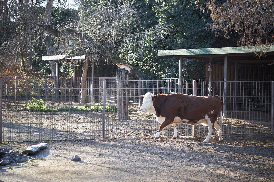 Red-spotted cattle walking in the cattle yard